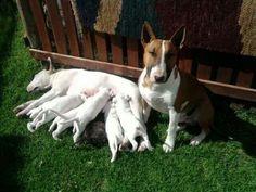 Bull terriers ;)