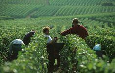 Début des vendanges en Champagne : 120 000 vendangeurs sont attendus dans les semaines à venir. http://www.terredevins.com/champagne-coup-denvoi-des-vendanges-cette-semaine/