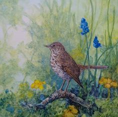 """""""Hermit Thrush"""" by Floy Zittin original watercolor on board, size 8x8"""