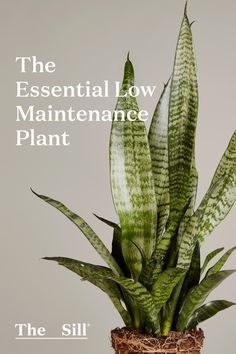 What To Search For Right Before You Purchase Your Higher Than Floor Pool The Essential Low-Maintenance Plant: The Snake Plant Is A Great Low-Maintenance Houseplant Thats Perfect For Anyone On The Go. What Is Gardening, Small Space Gardening, Organic Gardening, Gardening Tips, Gardening Services, Low Maintenance Yard, Low Maintenance Landscaping, Office Plants, Natural Garden