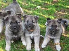 Slikovni rezultat za norwegian elkhound puppy