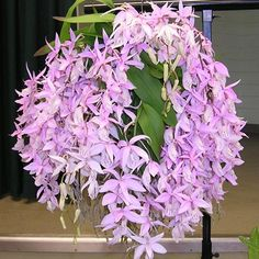 Developing an Orchid Collection with Backbulbs: Barkeria spectabilis 'Bob Hoffman'