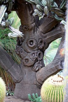 Cereus peruvianus trunk...Ewh, what a strange looking tree; it gives me the heebee-geebees!!!