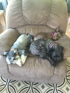 How many schnauzers can you get on a La-Z-Boy?