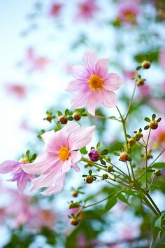 Cosmos...an annual that adds so much to your garden. Throw seeds out, and in 6 weeks they will be 3-4 ft. tall, with constant blooms until fall.