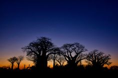 Baines Baobabs by Mario Moreno, via 500px.Just to the east of Kudiakam Pan and south of Nxai Pan is an impressive group of Baobab trees.