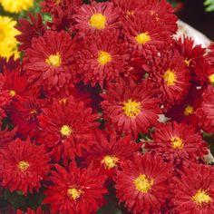 Pflanzen-Kölle Winteraster rot, 11 cm Topf.  Robuste, pflegeleichte Schönheit mit üppiger Blütenfülle, die über viele Wochen kräftige Farbe in das Beet bringt.