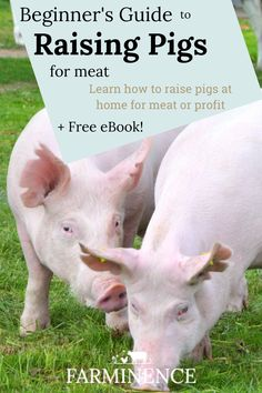 Raising Pigs for Meat for Beginners How to raise pigs for meat for beginners. Wondering about raisin Cattle Farming, Pig Farming, Livestock, Poultry Farming, Raising Farm Animals, Pigs Raising, Nature Hunt, Run In Shed, Beef Cattle