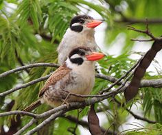 White-eared Puffbird  (Nystalus chacuru) is found in Brazil, Bolivia, Paraguay, Argentina, and Peru  | Bucconidae family