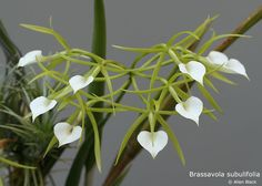 Brassavola subulifolia