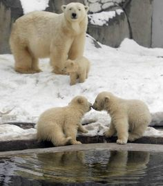 Polar Bears!!!!!