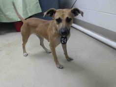 HOUSTON - This DOG - ID#A419138  I am a female, tan and black Labrador Retriever.  My age is unknown.  I have been at the shelter since Nov 06, 2014.