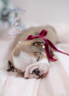 Gorgeous English Bulldog puppy! #bulldog #englishbulldog #puppy #puppies #bulldogpuppy
