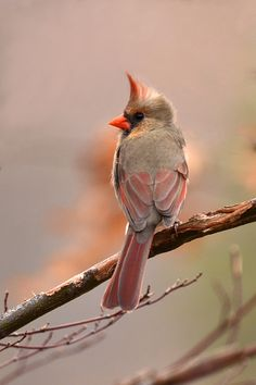 Pretty female Cardinal.