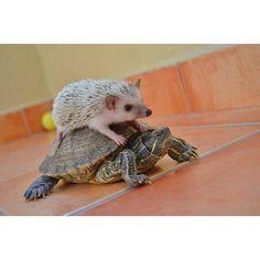 ♥ Pet Turtle ♥ hedgehog riding a turtle? Hedgehog Pet, Cute Hedgehog, Happy Hedgehog, Pet Turtle, Turtle Love, Happy Turtle, Cute Turtles, Baby Turtles, Animals And Pets