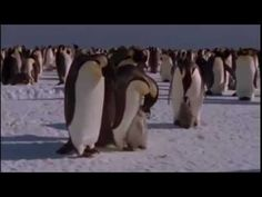 This is the wonderful penguin story, narrated by David Attenborough in Brining Up Baby from BBC Natural World. The film is edited by Mark Fletcher and the mu. Science Videos, Science Activities, Penguin Videos, Penguin Awareness Day, Penguin Life, Penguins And Polar Bears, Winter Songs, Polar Animals, School Videos