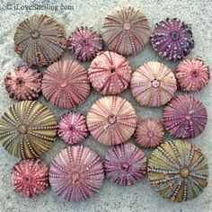 It is not every day we get to see SEA URCHINS wash up in the colors in the rainbow. Every day the beaches on Sanibel and SW Florida are loaded with beach bling Purple Sea Urchin, Sea Urchin Shell, Sea Shells, Sea Urchins, Sea Life Art, Shell Beach, Art Textile, Art Graphique, Patterns In Nature