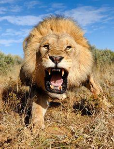 Leão nervoso capturado no deserto de Kalahari na África do Sul.