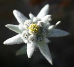 """Edelweiss (Leontopodium alpinum) is a well-known mountain flower, belonging to the Asteraceae (the daisy or sunflower family). The common name is from the German (Edelweiß), literally translating to """"noble-white"""" Alpine Flowers, White Flowers, Beautiful Flowers, Plantes Alpines, List Of Flowers, Bonsai Seeds, Flower Meanings, Cover Up Tattoos, Flower Seeds"""