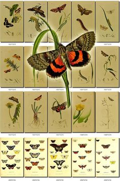 BUTTERFLIES-53 Collection of 215 vintage illustrations plants