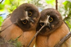 Northern Saw-whet Owl branchers