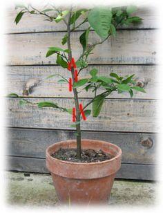 Apprendre à tailler le citronnier et les autres agrumes cultivés en pot ou en pleine terre. Informations sur la culture et l'entretien de ces arbustes méditerranéens d'ornement.