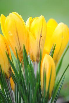 ✯ Yellow Crocus .. by Vanman11✯