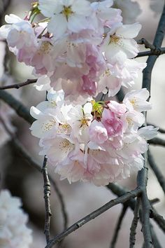 Beautiful cherry blossoms. #nature #flowers