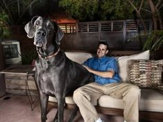 Big dogs are cute too! George the Great Dane measures 7 feet from nose to tail and 43 inches from paw to shoulder. He is now officially the record holder for world's tallest dog. Ever!