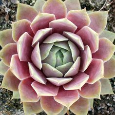 Sempervivum 'C William' - Mountain Crest Gardens