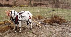 Cart Goat Mini Horse | Cowboy and JellyBean helping out with cleaning the barn and ...