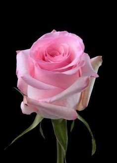 Wholesale fresh cut roses available for sale online Order today Rose Images, Rose Pictures, Flower Images, Flower Art, Orange Roses, Purple Roses, All Flowers, Pretty Flowers, Oriental Lily