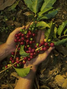 Coffee Beans - Costa Rica