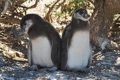 0053 Penguin Chicks