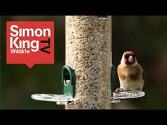 Wild Bird Food : What Do Robins Eat? - YouTube