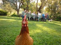 Inquisitive Chook