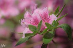 Rhododendron - Palmengarten