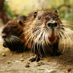 Warming winters mean the invasive water-loving rodent is likely to expand its range beyond the Pacific Northwest, the Mississippi Valley and the Eastern Seaboard.