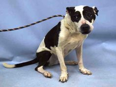 KIT KAT - #A1086800 - Urgent Manhattan - FEMALE WHITE/BLACK PIT BULL MIX, 7 Yrs - STRAY - NO HOLD Reason STRAY - Intake 08/23/16 Due Out 08/26/16 - QUIET, ALERT, ALLOWS ALL HANDLING