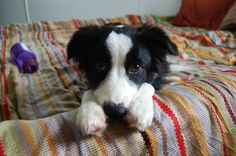 My puppy Border Collie. So far the most handsome Border Collie I have ever seen.