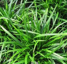 siergras briza carex calamagrostis carex cortaderia imperata miscanthus molinia panicum pennisetum gras siergras