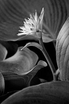 """0064a 20"""" X 13.33"""" Limited Edition Black and White Fine Art Flora Photograph by Russ Martin """"New Flower"""" COA (10% of the profit to be donated to The Nature Conservancy) * Check out this great product."""