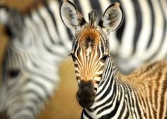 Plains Zebra Billy Dodson