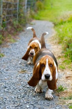 collection of basset hound photos including our gorgeous girl Molly :) enjoy! Basset Puppies, Hound Puppies, Dogs And Puppies, Beagles, Chien Basset Hound, Basset Hound Rescue, Pet Dogs, Dog Cat, Doggies