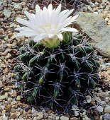 The Cactus Page - Family Cactaceae Succulent Plants, Planting Succulents, Cacti, Woodpecker Feeder, Cactus Names, Barrel Cactus, Yellow Flowers, Habitats, National Parks
