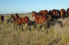 The Retuertas horse or Caballo de las Retuertas is a rare feral horse indigenous to Doñana marshes, Andalusia, Spain. It is said that it is one of the oldest type of horses in Europe and is strictly protected by the Spanish government.