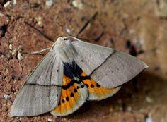 Moth Genitals Produce Ultrasound