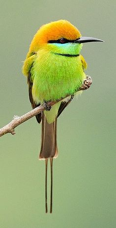 Green Bee Eater   ..... Cute Birds, Birds 2, Pretty Birds, Wild Birds, Green Birds, Exotic Birds, Colorful Birds, Animals Beautiful, Beautiful Birds