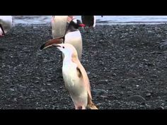 A all-white penguin spotted in a Lindblad-National Geographic Expedition to Antarctica. Video by Beau Sytle