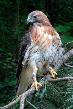 Red-tailed Hawk (Buteo jamaicensis) from Alaska and Canada to Panama and the West Indies
